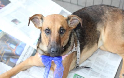 Charlotte – cachorra para adoção em São José do Rio Preto
